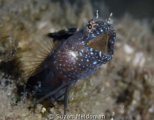 Sailfin calling out by Suzan Meldonian 